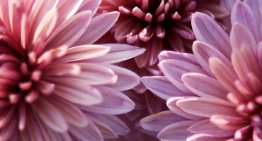 Purple chrysanthemum & Video